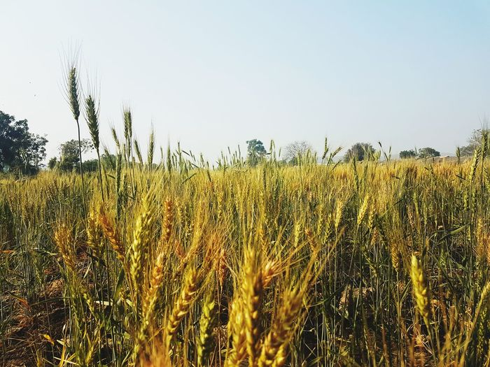 wheat Growth Nature Agriculture Crop  Sky Field Cereal Plant Rural Scene Day No People Outdoors Beauty In Nature Tree Freshness Plant