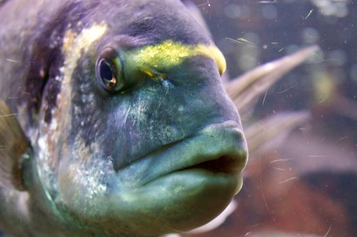 Exotic Fisch Looks to Canon Eos 80d Fishhead Blue Fish Blue Big Fish Exotic Fish Fish Fisch Exotischer Fisch EyeEm Best Shots Close-up Portrait Body Part One Animal Eye Headshot Focus On Foreground Water Looking Underwater Outdoors Vertebrate Sea Animal Eye Digital Composite