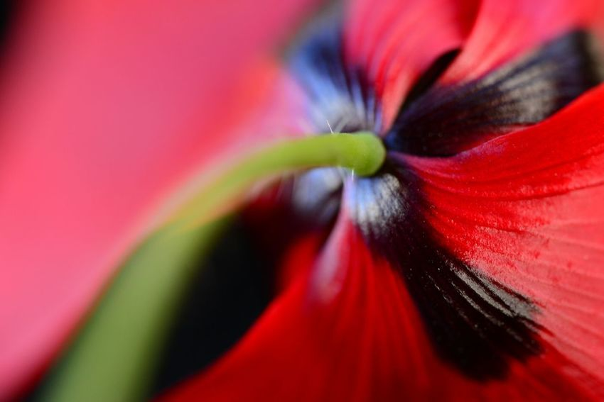 Amapolas The Purist (no Edit, No Filter) Red Poppy Flowers Poppy Flowers Spring Flowers Springtime Red Passion Nikon EyeEm Nature Lover