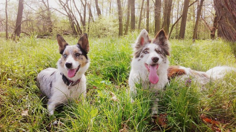 Domestic Animals Animal Themes Pets Dog Looking At Camera Portrait Grass Nature Outdoors Beauty In Nature Day No People Border Collie Bordercollie  Red Merle Blue Merle Dogs Blue Merle Dog❤ Dogs Of EyeEm Dogwalk 2 Dogs Different Eye Color Mammal Tree Field First Eyeem Photo