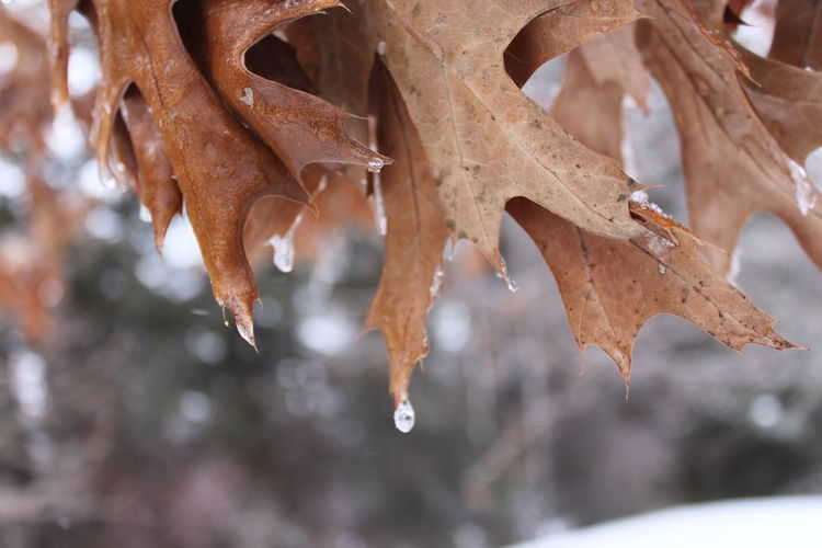 Winter Focus On Foreground Close-up Cold Temperature Tree No People Nature Plant Snow Day Beauty In Nature Frozen Ice Brown Selective Focus Outdoors Fragility Tranquility Vulnerability  Icicle Leaves My Best Photo