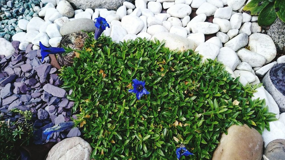 High Angle View Outdoors Green Color Nature Day Growth Beauty In Nature Flower Plant No People Grass Close-up Enzian Nature First Eyeem Photo Urban Skyline Gentian Flower Flower Head Blume Blau Blue Beauty In Nature