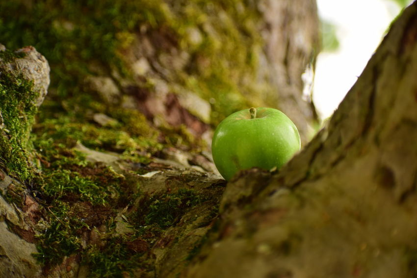 Apple in the apple tree Apple Apple - Fruit Close-up Day Food Food And Drink Freshness Fruit Green Color Healthy Eating Moss Nature No People Outdoors Plant Selective Focus Tree Tree Trunk Trunk Wellbeing