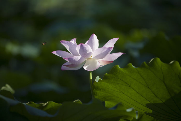 Flower Head Flower Water Leaf Lake Lotus Water Lily Pink Color Petal Close-up Plant