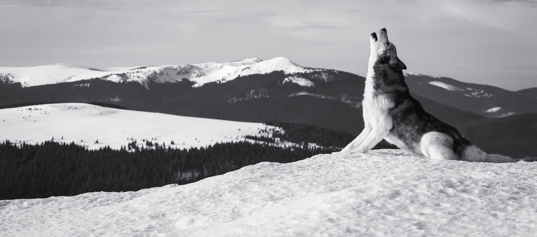 Dog in a cold winter day from Brasov area, Romania. Panorama Winter Animal Animal Themes Beauty In Nature Black And White Canine Cold Temperature Dog Dogslife Domestic Howl Mammal Mountain Mountain Range One One Animal Outdoors Pet Single Snow Snowcapped Mountain Wild Wilderness Wolf Black And White Friday