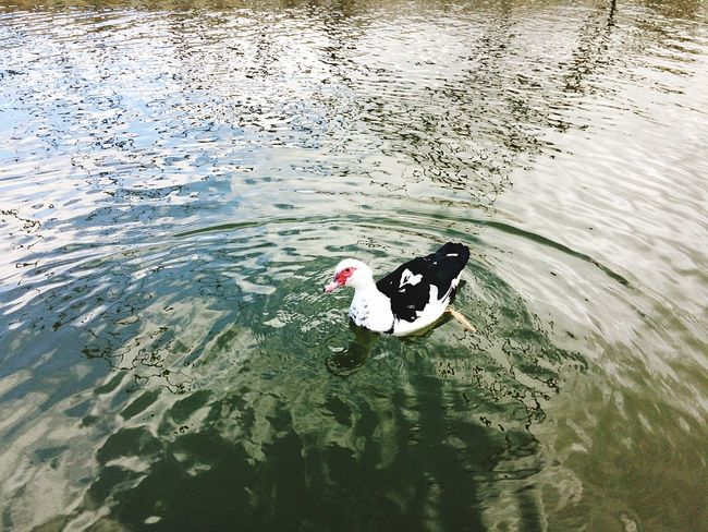 Duck Animal Themes Animals In The Wild Water Animal Wildlife Swimming Day Reflection Bird One Animal Nature