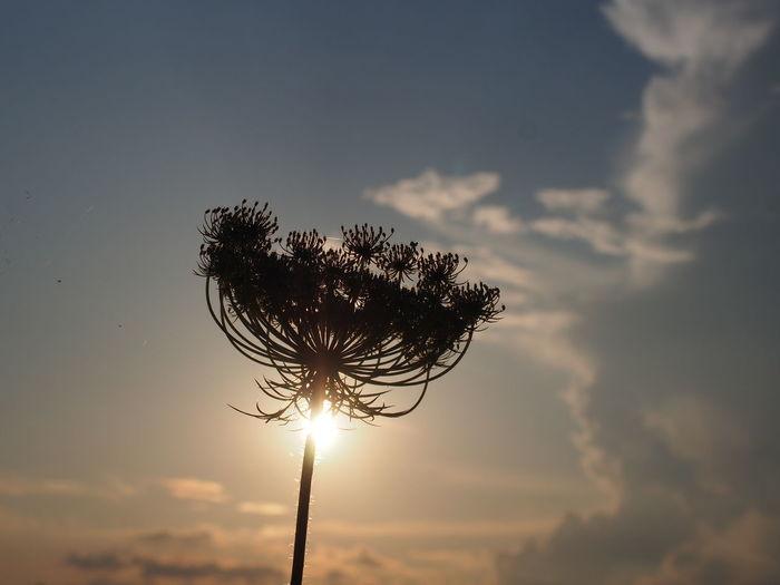 Silhouette dandelion against sky during sunset