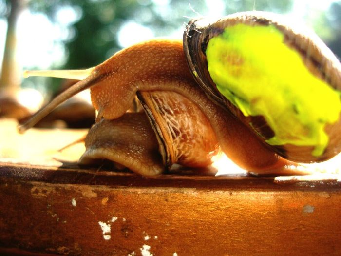Snail Natural UV Color