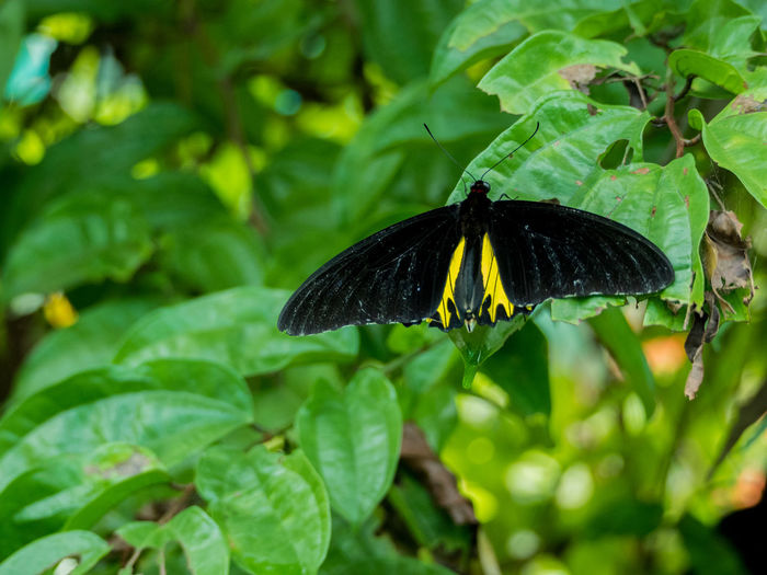 Beauty In Nature Butterfly Butterfly - Insect Close-up Fragility Insect Leaf Nature Plant Southern Birdwing Wildlife