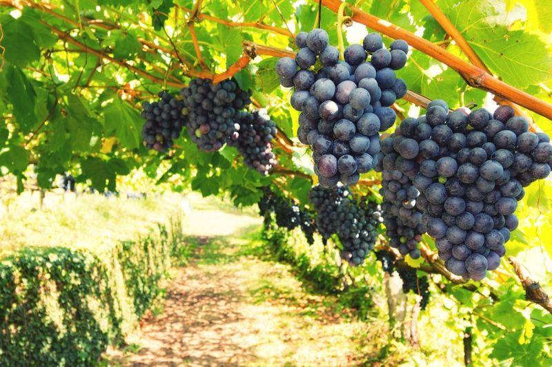 Trauben Weintrauben Wein Fruit Grape Vineyard Agriculture Growth Food And Drink Plant Healthy Eating Winemaking Vine Red Grape Food Farm Nature
