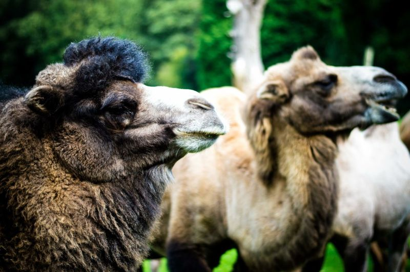 Close-up Of Camels In Field