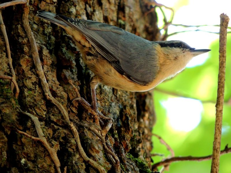 Animal Themes Animal Wildlife Animals In The Wild Beauty In Nature Bird Branch Close-up Day Focus On Foreground Mammal Nature No People One Animal Outdoors Perching Tree Tree Trunk Woodpecker Nuthatch Wildlife Sitta Europaea