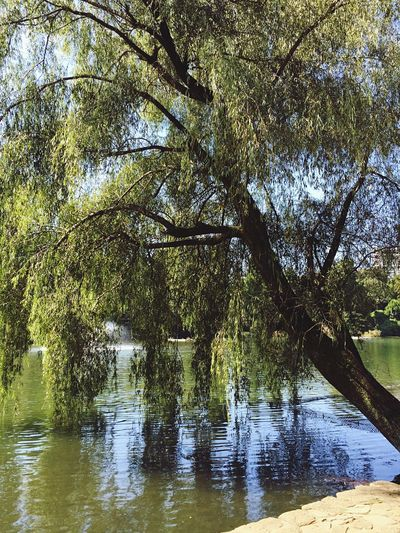Today's pond with a weeping willow tree 🌊🌲 Water Water Reflections Water_collection Waterfront Waterscape Pond Willow Willow Tree Tree Trees TreePorn Tree_collection  Tree And Sky Inokashira Park Inokashira Park.Tokyo