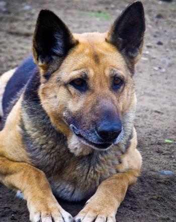 One Animal Animal Themes Day Germanshepherd Germanshepherddog Germanshepherdlovers Mydog