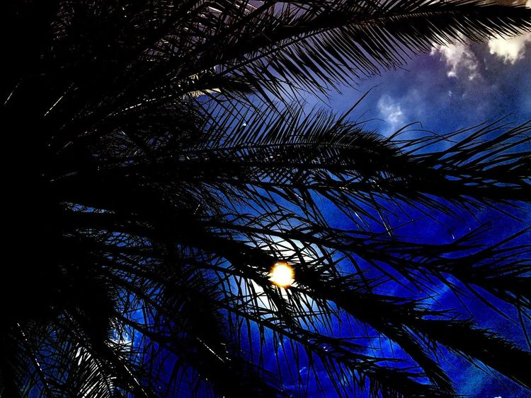 Blue palm Tree Low Angle View Growth Palm Tree Nature Sky Beauty In Nature Silhouette No People Branch Outdoors Day