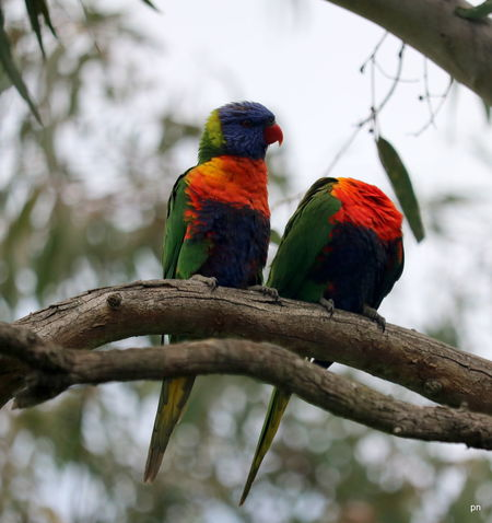 Laughing my head off Animal Themes Animals In The Wild Avian Beak Beauty In Nature Bird Birds Of EyeEm  Branch Close-up Colorful Day Focus On Foreground Headless Looking Multi Colored Nature No People Parrot Perching Rainbow Lorikeet Tranquility Tree Vibrant Color Wildlife Zoology