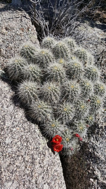 Barrel Cactus Red Flowers Flowering Cactus Outdoors No People Hiking❤ Desert Spring Blooms Beauty In Nature Cactus On Rock