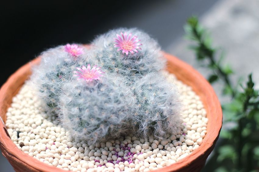 Cactus Plant Growth Beauty In Nature Flower Nature Cacti Cactus Flower Cactus Plant Mammillaria Mammillaria Bacasana Cactuslover Cactus Close-up No People Outdoors Day Fragility Flower Head