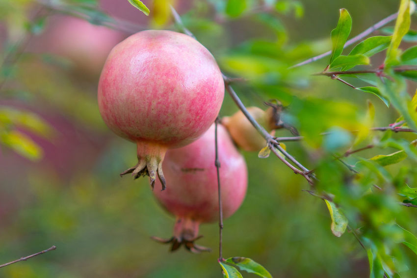 Close-up Day Focus On Foreground Food Food And Drink Freshness Fruit Growth Healthy Eating Nature No People Outdoors Plant Pomegranate