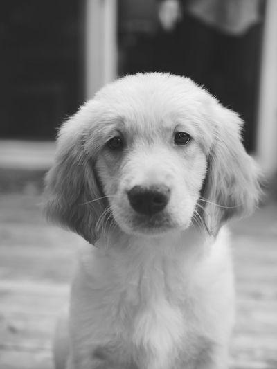 Politics And Government Pets Portrait Dog Puppy Animal Hair Close-up Purebred Dog Retriever Canine Nose Golden Retriever