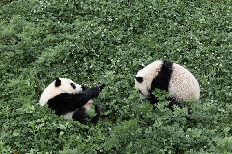 Panda Bear Animal Animal Themes Animal Rescue China Wildlife Animal Wildlife Cub Playing Giant Panda Field Grass Green Color Close-up Two Animals Giant Panda Panda - Animal Endangered Species Threatened Species Springtime Decadence My Best Photo The Great Outdoors - 2019 EyeEm Awards The Photojournalist - 2019 EyeEm Awards