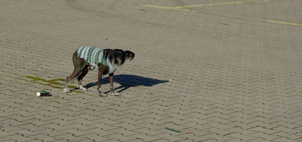 Alone Time Alone In The City  Dogs One Dog Shaved Alone... And Now ? Animal Animal Themes Cobblestone Depressed Depression Depression - Sadness Dog Dogslife Domestic Animals Funny Dog Lifestyles One Animal One Dog Only Sadness Sadness Dog Shaved Dog Waiting Dogs