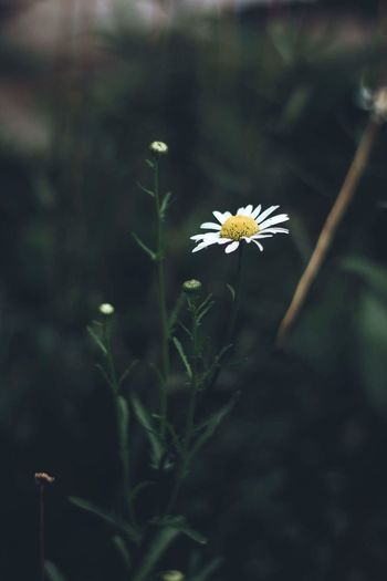 🌼 Flower Naturelovers Nature Photography 50mm F1.8 Nature_collection Dof_brilliance Bns_nature Macro_captures Flower Collection Close-up Bns_flowers Bns_macro Macro_flower Nature Flower Photography Flower_Collection Film Canon Fotografia Daisy 🌼 Floral Moody Nature Plant Blossom Dofaddicts
