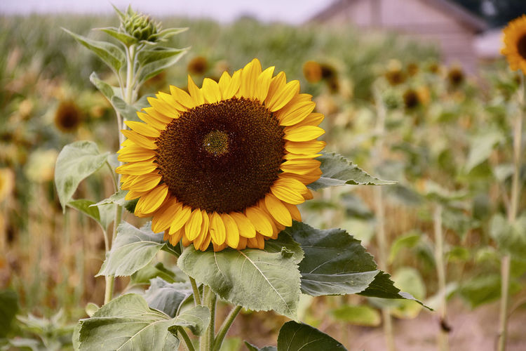 Sunflower in a field, Amsterdam Nature Sunflower Yellow Flower Beauty In Nature Close-up Day Flower Flower Closeup Flower Head Flowering Plant Flowers Focus On Foreground Fragility Freshness Growth Leaf Nature Outdoors Petal Plant Plant Part Pollen Sunflower Vulnerability  Yellow The Great Outdoors - 2018 EyeEm Awards