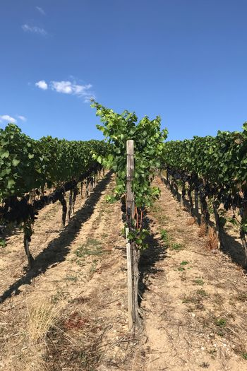 The wine of 2019 Grapes Vinyard Plant Sky Nature Sunlight Day Growth Landscape Beauty In Nature Tranquil Scene Outdoors Land
