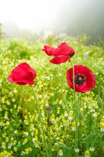 Poppy flower in
