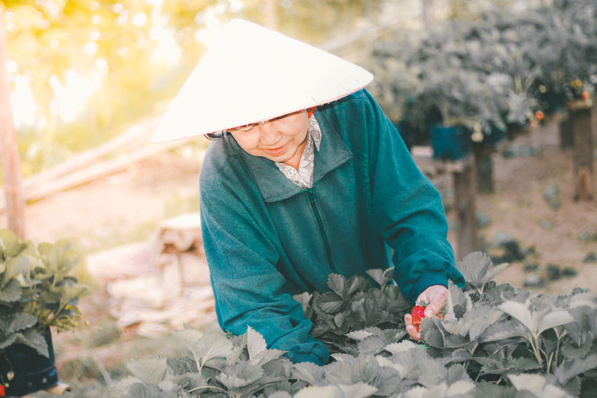 An old woman is picking strawberries her in her garden in the morning. Fruits Garden Gardeners Harvesting Strawberry Nakhon Phanom Old Woman Strawberry Thai Fruits Thailand
