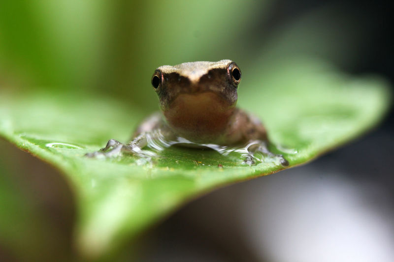 Green paddy frog is on the leaves with drops of Focus. Common Green Frog Green Nature Ranidae Amphibian Animal Animal Wildlife Animalia Anura Backgrounds Chordata Closeup Day Green Color Green Paddy Frog Leaf Leaf Frog No People One Animal Outdoor Pollywog Small Tadpole Wild Wildlife