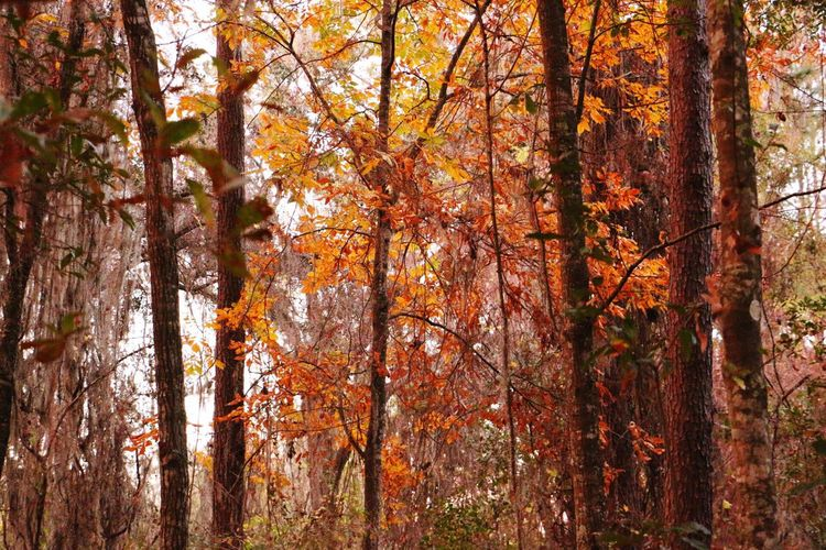 Natural Tree Nature Beauty In Nature Orange Color Growth No People Forest Scenics Change Autumn Tranquility Leaf Day Outdoors Florida Tranquil Scene Canon Canon 70d Photography Canonphotography Trees Orange Right Before Night Woods And Color
