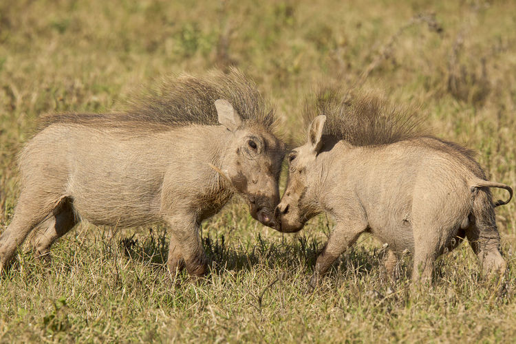 Two warthogs on field