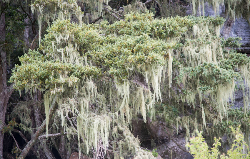 Spanish moss tree detail in Kawakawa, New Zealand Plant Beauty In Nature Nature Outdoors Kawakawa New Zealand Tree Environment Spanish Moss Moss Growth Tendril Hanging Flora Natural Details Of Nature Green Color Foliage Lush Foliage Wild Uncultivated Day Non-urban Scene No People Branch