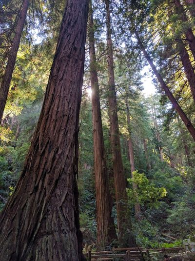 Sequoias in John Muir Seqouia Trees Forest Trees Nature California Bay Area Sequoias Nature Photography Naturelovers Nature_collection San Francisco WestCoast Giant Tree National Monument John Muir Nature Public Land