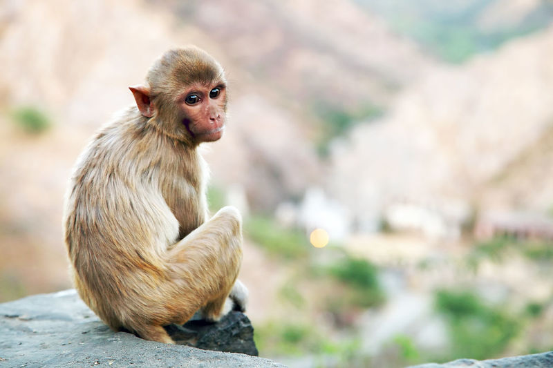 Rear view of monkey sitting on rock at temple