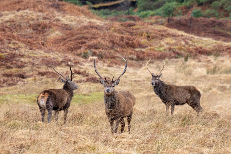 Deer standing on grassy field
