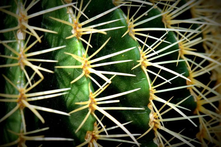 Beauty In Nature Cactus Close-up Green Color Natural Pattern Nature Plant Sharp Spiked Thorn