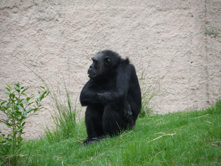 Animales Simio Leon Guanajuato Pensador Zoológico