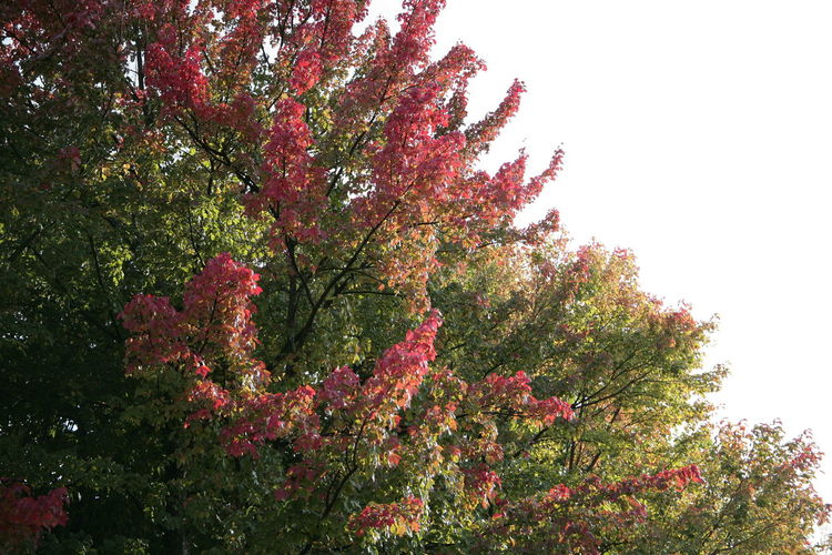 Autumn Trees Autumn Branch Fire Branches Fire Tree Green Red Growth Leaf Nature Red Branches Red Tree Tree