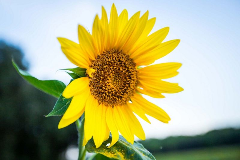 Sunflower Flower Yellow Petal Fragility Flower Head Freshness Nature Close-up Sunflower Plant Beauty In Nature Macro Outdoors Blossom No People Day Uncultivated Stamen Defocused Rural Scene