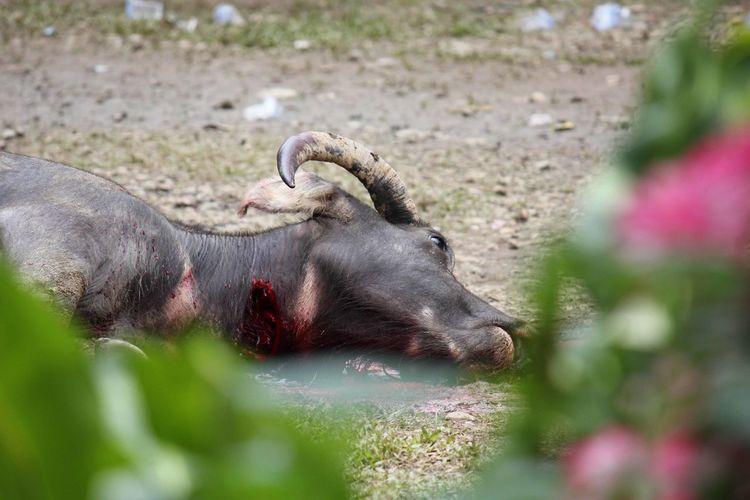 INDONESIA Indonesia Photography  Sulawesi TanaToraja Buffalo Sacrifice Sacrificed Murdered Killed Animal Animal Themes Mammal One Animal Animal Wildlife Domestic Animals Animal Body Part Animal Head  Nature No People Animals In The Wild