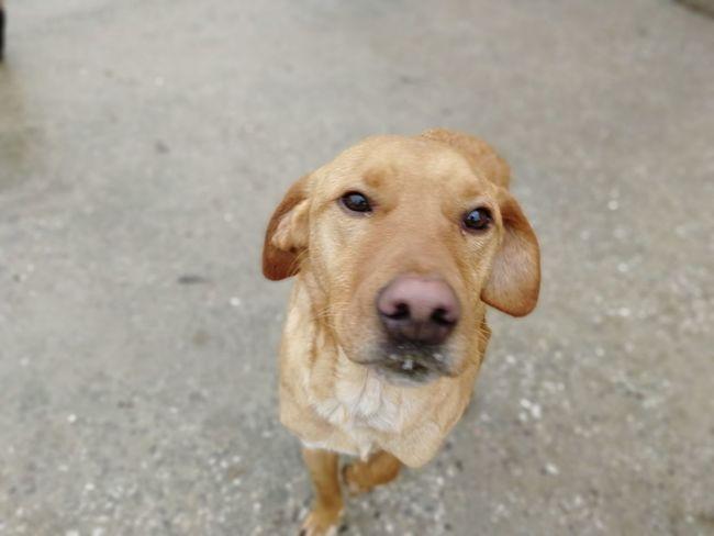 Pets Portrait Beagle Dog Looking At Camera Close-up