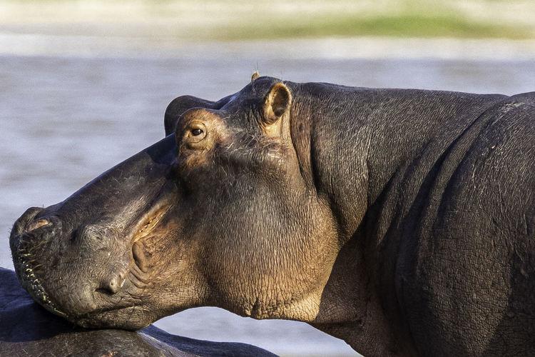 Close-up of a rhino in a lake
