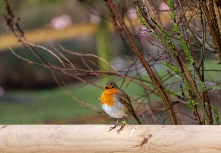 Bird One Animal Perching Animal Animal Wildlife Robin Focus On Foreground No People Orange Color Outdoors Songbird  Robin Redbreast