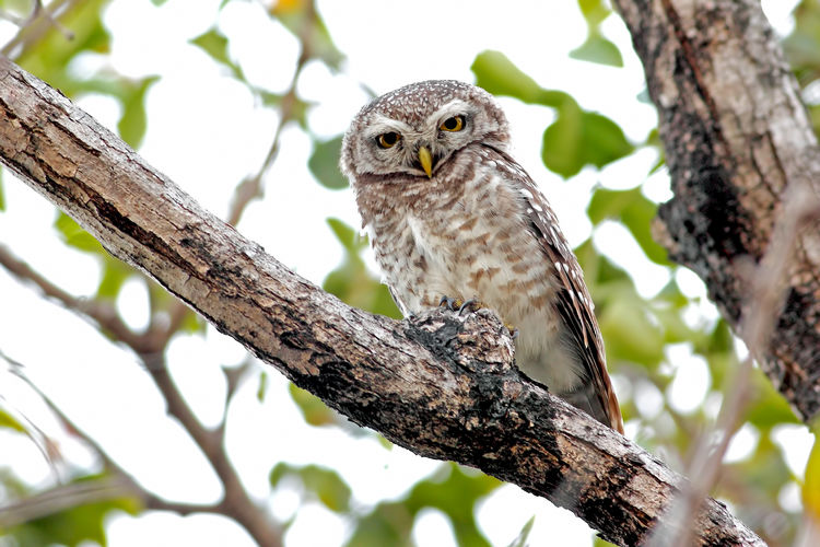 Spotted owlet Athene brama Birds of Thailand Tree Animal Themes Animals In The Wild Animal Wildlife Animal One Animal Vertebrate Branch Bird Plant Perching Low Angle View Focus On Foreground No People Nature Day Bird Of Prey Tree Trunk Trunk Owl Woodpecker Animal Eye Spotted Owlet