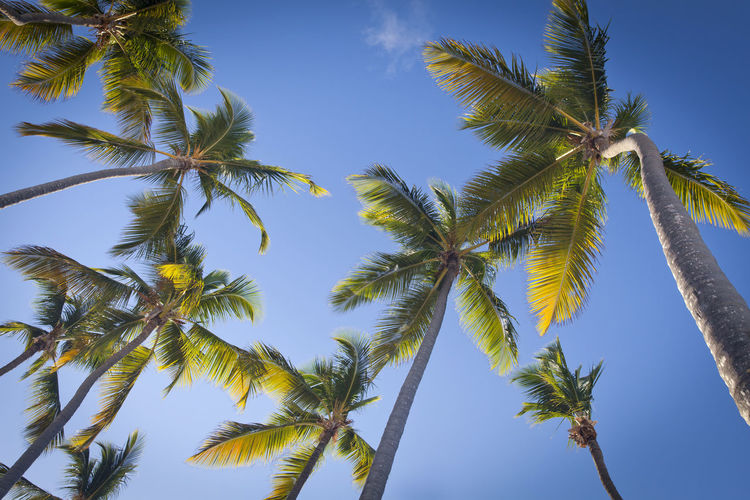 Palm trees over blue sky in Punta Cana, Dominican Republic Dominican Republic Palm Tree Punta Cana, Dominican Republic Beauty In Nature Blue Coconut Palm Tree Day Directly Below Green Color Growth Low Angle View Nature Outdoors Palm Leaf Palm Tree Plant Punta Cana Sky Tall - High Tranquility Tree Tropical Tropical Climate Tropical Tree Wind