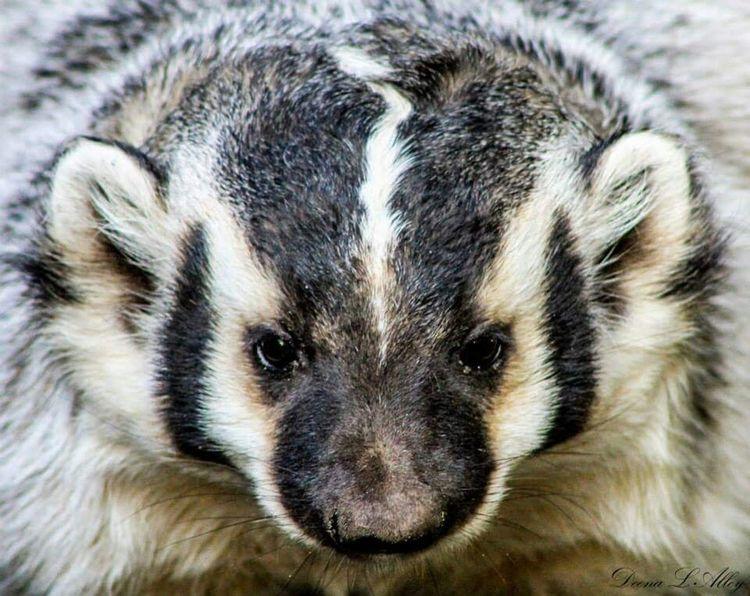 Badger Northwest Trek Wildlife Washington
