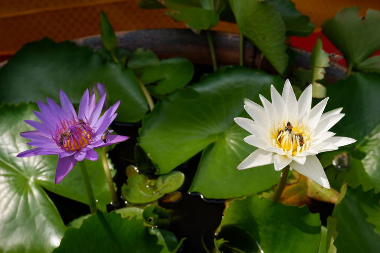 flower, Bee Bangkok Bangkok Thailand. Beauty In Nature Bee Floating On Water Flower Flower Head Flowering Plant Fragility Freshness Green Color Growth Inflorescence Leaf Lotus Water Lily Nature Petal Plant Plant Part Pollen Purple Vulnerability  Water Lily